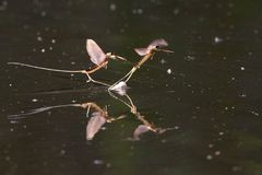 Long Tailed Mayfly on Water Surface