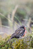 Long tailed meadowlark on flower Royalty Free Stock Photo