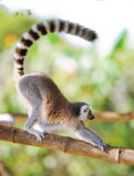 Long tailed monkey Stock Image