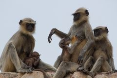 Long-tailed monkey family sitting on the wall of. Long-tailed monkey. Grey macaques in town Humpi Stock Image