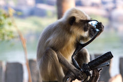 Long-tailed monkey gazing in the mirror of moped. Royalty Free Stock Images