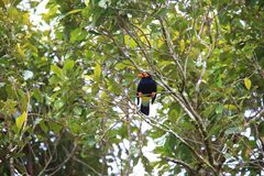 Long-tailed myna Royalty Free Stock Images