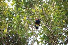 Long-tailed myna. Mino kreffti in Solomon Island Royalty Free Stock Images