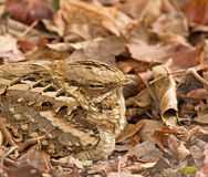 Long-tailed Nightjar close-up Stock Image