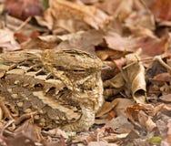 Long-tailed Nightjar close-up Stock Image