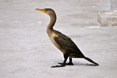 A Long Tailed, Penguin-like Duck with Big Feet Stock Image