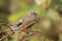 Long-tailed rosefinch. The long-tailed rosefinch sitting on the branch Royalty Free Stock Photo