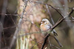 Long-tailed rosefinch. On the branch Royalty Free Stock Photo