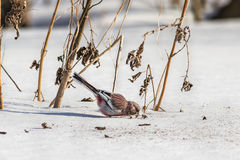 Long-tailed rosefinch. Eats seeds weed Royalty Free Stock Photo