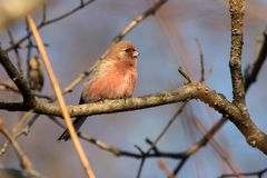 Long-tailed rosefinch sitting on a tree branch in the autumn sun Stock Photography