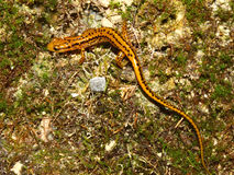 Long-tailed Salamander (Eurycea longicauda) Royalty Free Stock Images