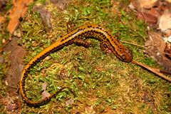 Long-tailed Salamander in Mississippi Stock Image