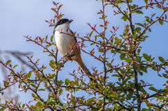 Long-tailed shrike Stockbild