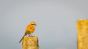 Long Tailed Shrike, alone Royalty Free Stock Photos