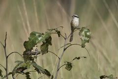 Long-tailed Shrike Royalty Free Stock Photos