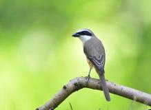 Long-tailed Shrike Stock Images