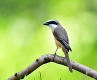 Long-tailed Shrike Stock Photo