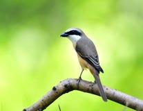 Long-tailed Shrike Royalty Free Stock Photography