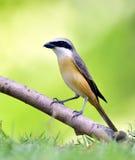 Long-tailed Shrike Royalty Free Stock Images