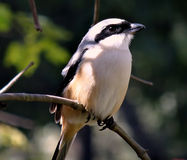 Long Tailed Shrike Bird Royalty Free Stock Images