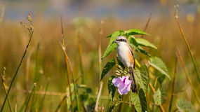 Bird with Flower, Long Tailed Shrike Royalty Free Stock Photos