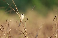 The long-tailed shrike or rufous-backed shrike in its habitat royalty free stock image