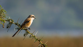 Long bird with green leaves, Long Tailed Shrike Royalty Free Stock Photo