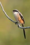 Long-tailed Shrike Stock Image