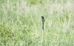 Long-tailed Shrike Urolestes melanoleucus Perched on a Stalk. In a Grassy Meadow in Northern Tanzania Stock Photos