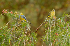 Long-tailed Silky-flycatcher, Ptiliogonys caudatus, Bird  pair from Costa Rica. Tanager in the nature habitat. Wildlife scene from Royalty Free Stock Images