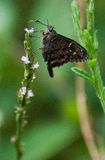 Long Tailed Skipper Royalty Free Stock Images