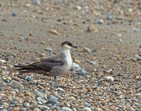 Long-tailed Skua Royalty Free Stock Photos