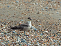 Long-tailed Skua Stock Photos