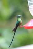 Long-tailed Sylph Royalty Free Stock Photo