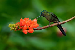 Long-tailed Sylph, Aglaiocercus kingi, rare hummingbird from Colombia, gree-blue bird sitting on a beautiful orange flower, action Stock Photo