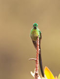 The Long-tailed Sylph Hummingbird Stock Image
