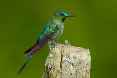 Long-tailed Sylph, hummingbird with long blue tail in the nature habitat, Ecuador. Exotic bird with long tail. Green and blue bird Stock Photography