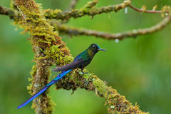 Long-tailed Sylph, hummingbird with long blue tail in the nature habitat, Peru Royalty Free Stock Photography