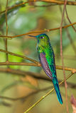Long Tailed Sylph Royalty Free Stock Images