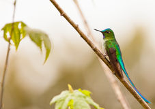 Long-tailed Sylph on twig Royalty Free Stock Photo