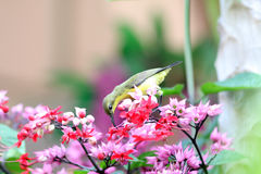 Long tailed tailorbird Stock Photo