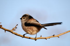 Long-Tailed Tit. On a clean background Royalty Free Stock Image