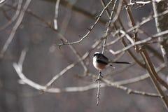 Long-tailed Tit Lizenzfreies Stockfoto