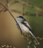 Long Tailed Tit Stock Images