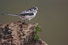 Long Tailed Tit. A Long-tailed tit,Aegithalos caudatus,perched on a tree stump Stock Image