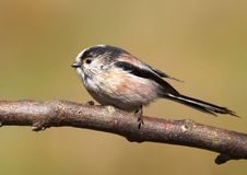 Long-tailed Tit Stock Images
