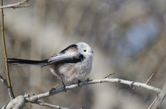 Long tailed tit. In natural habitat (Aegithalos caudatus Royalty Free Stock Images