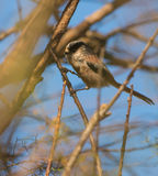 Long-tailed Tit Stock Image