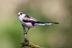 Long-tailed Tit Lizenzfreies Stockfoto