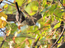 Long-tailed Tit Lizenzfreies Stockbild
